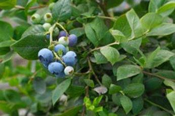 Bilberry Leaf Teabags