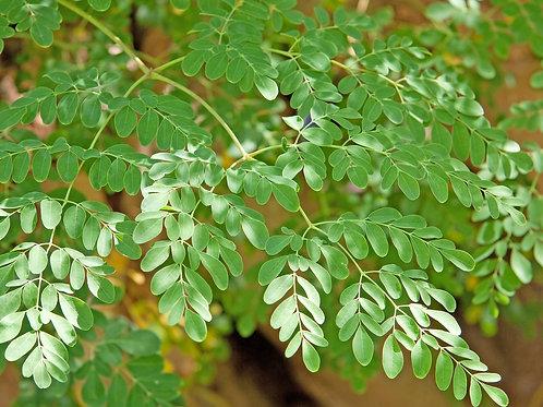 Moringa Oleifera Leaf Teabags