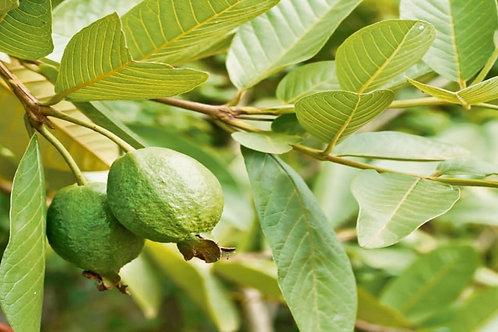 Guava Leaf Teabags