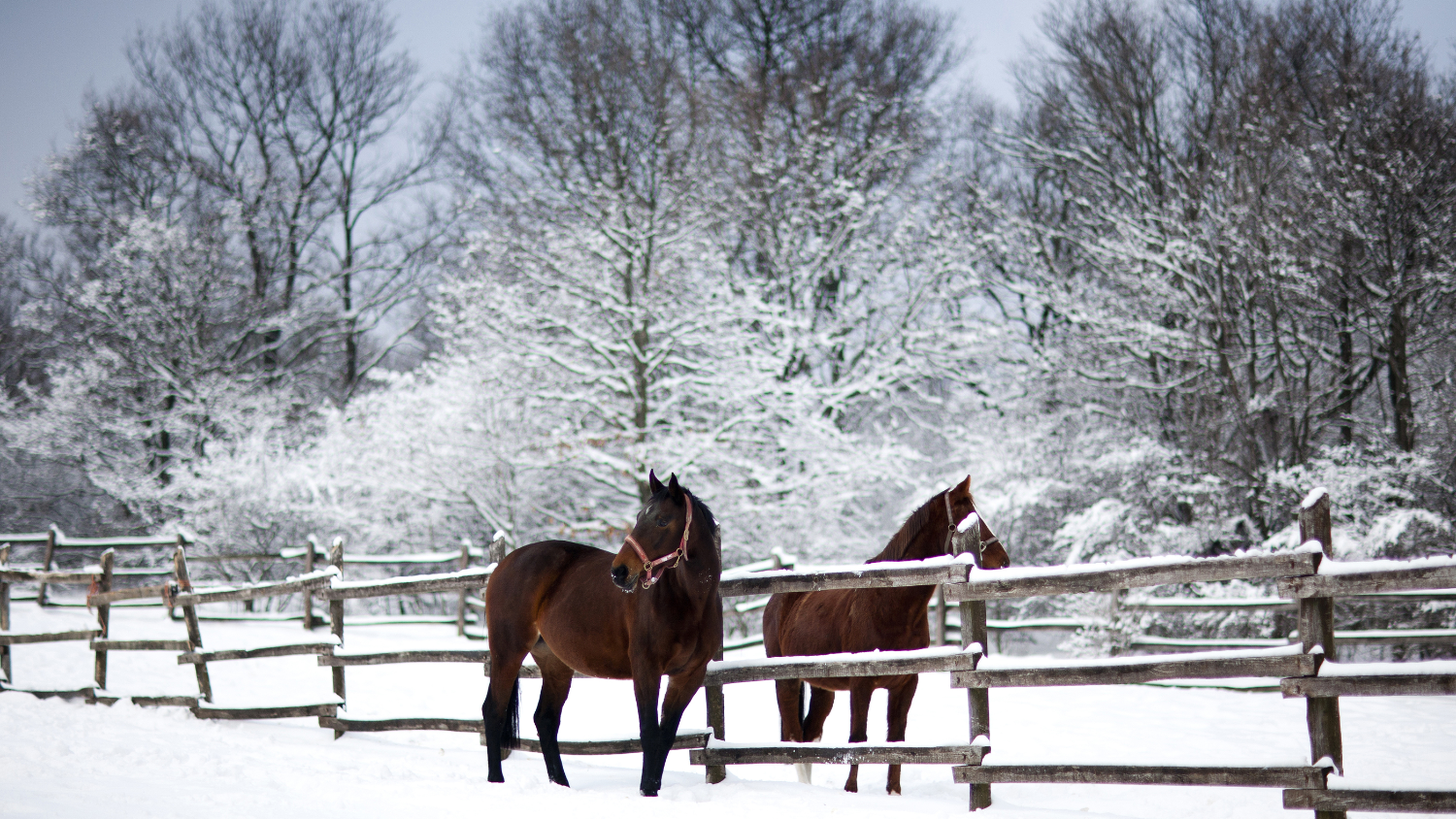 Chestnut Brown Horses In A Cold Winter P