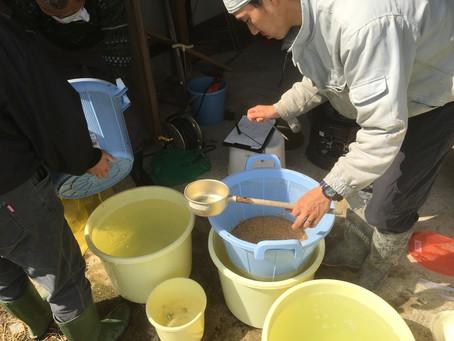 種籾の塩水選、温湯消毒。