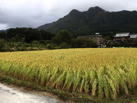 台風一過。自然栽培の稲は強かった!