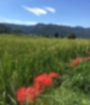 稲と彼岸花