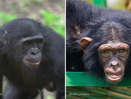 What's the Difference between a Bonobo and a Chimp?