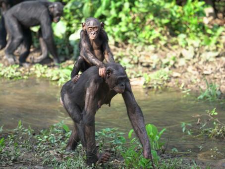 NPR: Origins of Kindness at Lola ya Bonobo