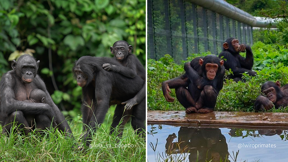 Left panel shows a family group of bonobos, right panel shows a group of chimpanzees