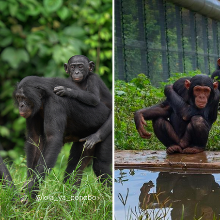 Bonobos and Chimpanzees - 4 Differences