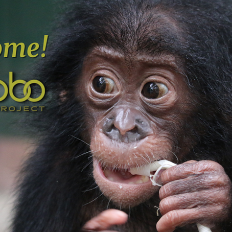 We're expanding!  The Bonobo Project is Merging with Friends of Bonobos
