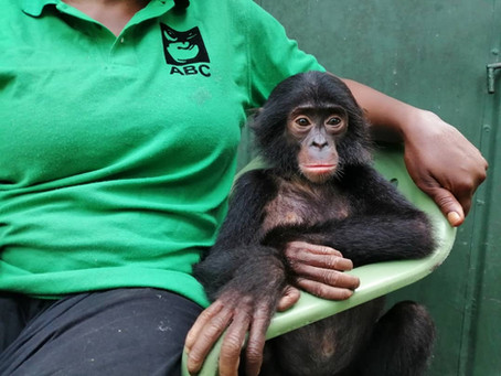 Who's that bonobo baby? Meet Diyoko