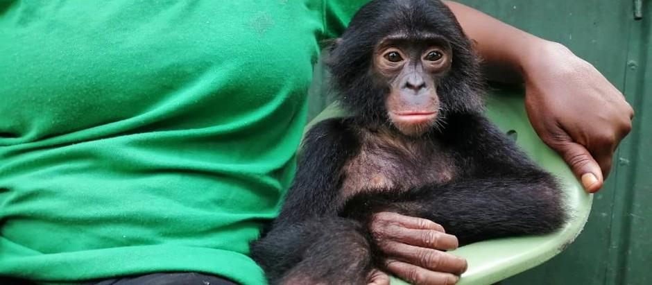 Who's that bonobo baby? Meet Diyoko