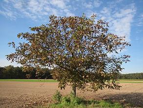 2月クルミの木 juglans-regia-848832.jpg