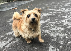 Dog Small Brown Clancarty.jpg