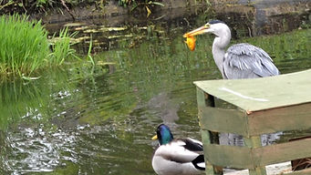 Heron Fish Duck Pond.JPG