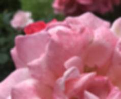 Rose Tropicana Pink IMG_0693.JPG