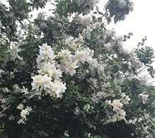 White Flowers on Clancarty.jpg
