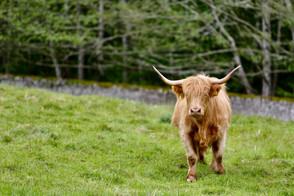 Cawdor Castle, The Highland Cow, Highland Cattle, Bò Ghàidhealach, Heilan coo
