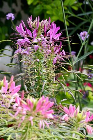 159A6192 Spinnenblume.jpeg