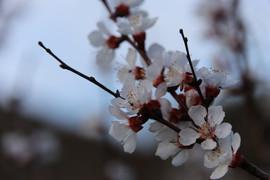 Blüten, Wachau Österreich