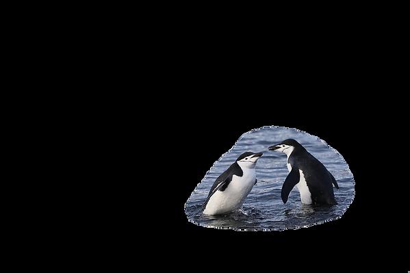 Zügelpinguine / Chinstrap Penguins