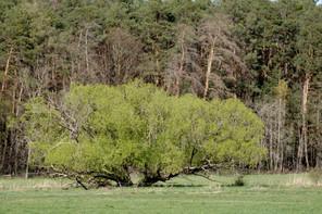 Landkreis Darmstadt-Dieburg, LaDaDi, Baum