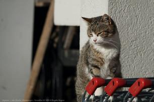Katze, Skadarsee, Skutarisee, Shkodrasee, Skadarsko Jezero, Morača, Montenegro, Crna Gora