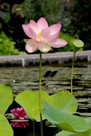 159A6208 Indische Lotusblume.jpeg
