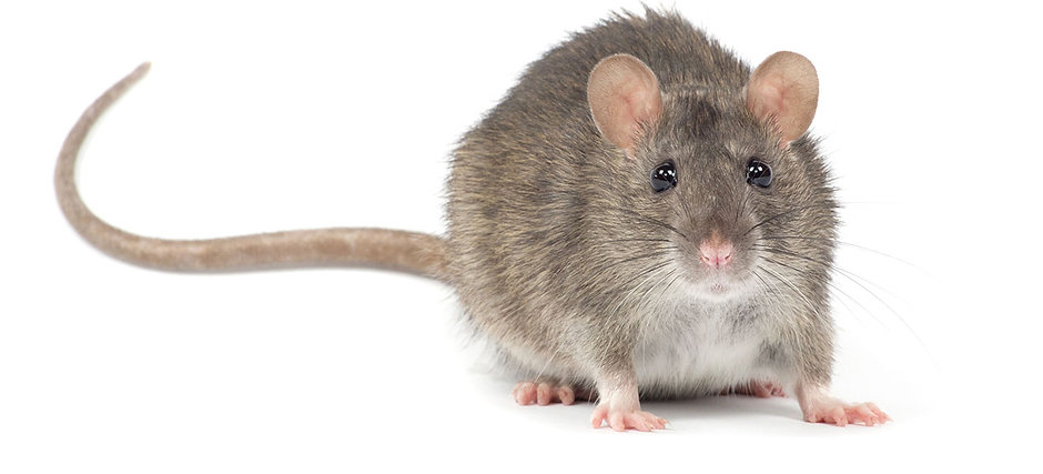 pest-control-burnley-help-service-rats-house-trap-bait-poison-mouse-mice-rentokill-burnley-lancashire-pest-control-burnley-nelson-fumigation-disinfection-pest-control-professional-quality-service-east-lancashire-accrington-atlas-environmental-services-ltd-commercial-domestic-wasp-nest-treatment-