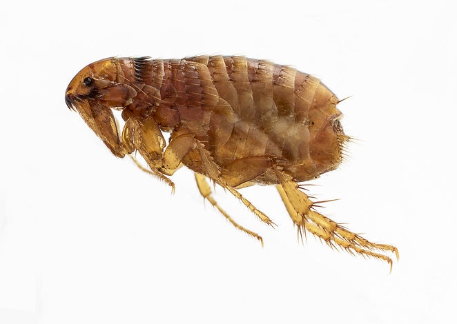 flea-treatment-burnley-lancashire-pest-control-accrington-wallace-pest-control-blackburn-pest-prevention-preston-control-fleas-help-exterminator-gassing-fogging-wasp-nest-removal-atlas-environmental-services-ltd-professional-commercial-pest-control-industrial-pest-control-east-lancashire-quality-service