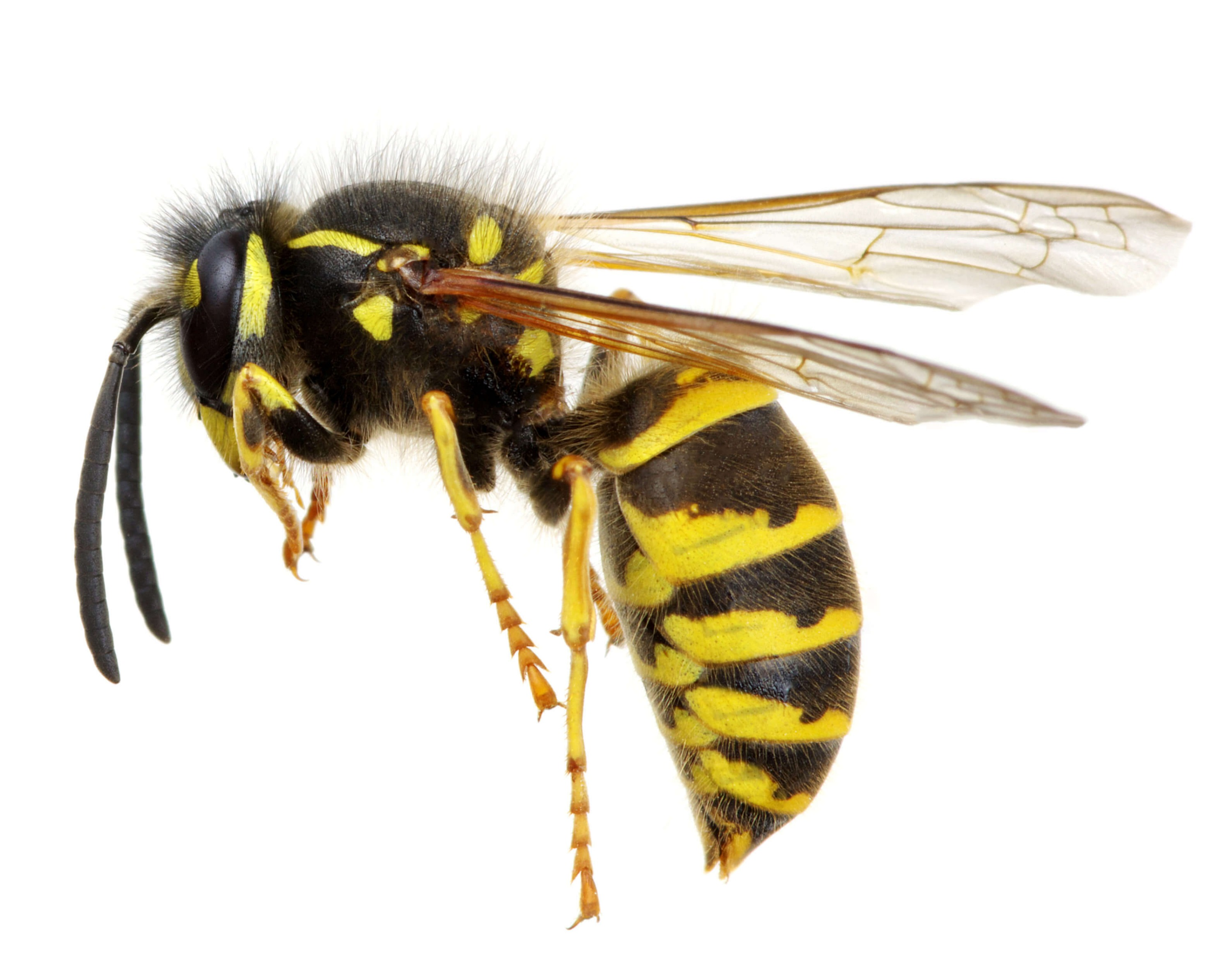 wasp-nest-burnley-wasp-nest-treatment-burnley