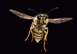 wasp-nest-treatment-burnley-wasp-nest-re