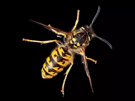 Wasp Nest Treatments.....