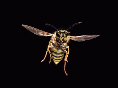 Wasp Nest Treatment Burnley and East Lancashire, Wasp Nest Removal Burnley and East Lancashire...