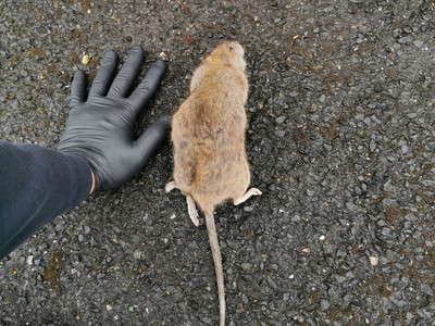 A huge surge in rodent activity still present.....
