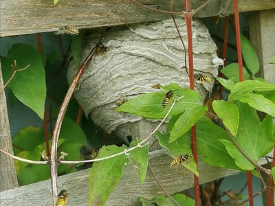 The wasps are busy developing their nests across Lancashire....