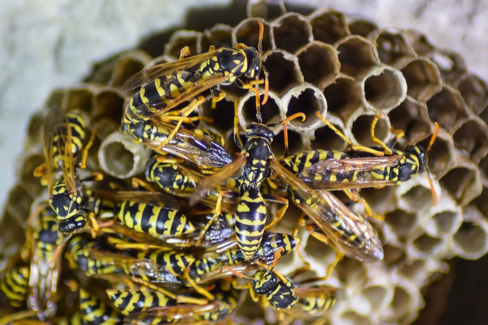 wasp-nest-removal-burnley-treatment-pest-problem-wasp-nest-removal-fumigation-treatment-east-lancashire-wasp-treatment-pest-control-nelson-burnley-covid-19-ppe-wasp-nest-eradication-lancashire-atlas-environmental-services-ltd-commercial-professional-pest-control-service