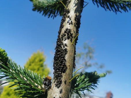 Wasps, Tree Bee's, Bumble Bee's, Honey Bee's and Giant Conifer Aphids!!!!.....