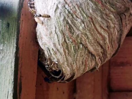 Wasp Nest Treatments throughout East Lancashire....