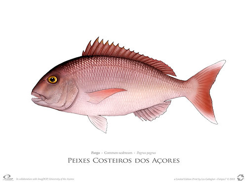 Limited Edition Print - Pargo (55 cm)