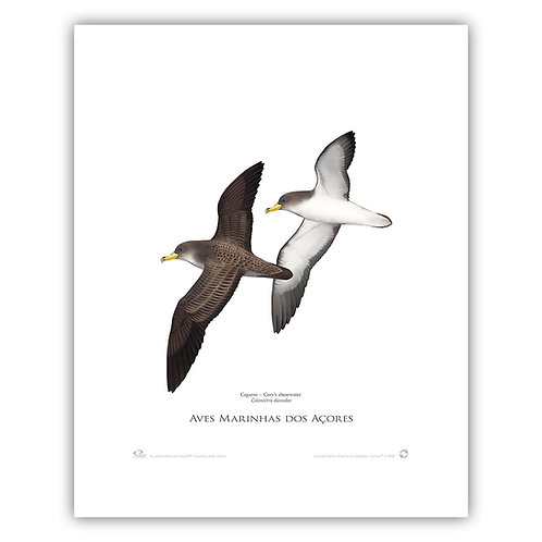 Limited Edition Print - Shearwater  40x50cm