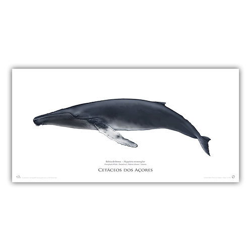 Limited Edition Print - Humpback whale (100 cm)