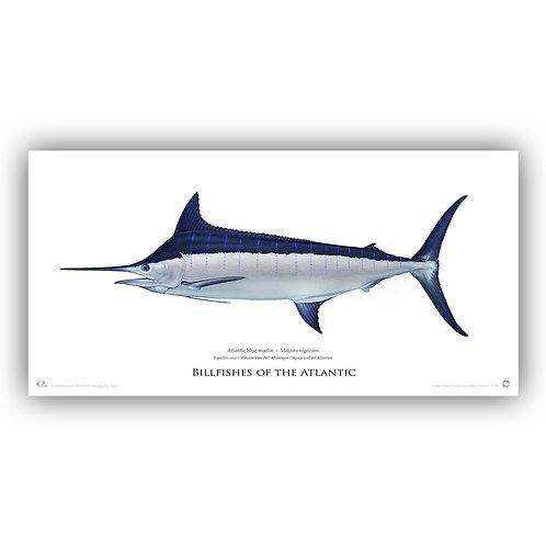 Limited Edition Print - Blue marlin 2013 (141 cm) (was €200.00)