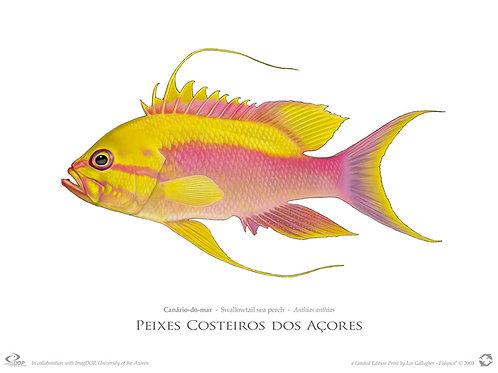 Limited Edition Print - Canário (55 cm)