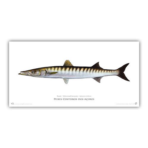 Limited Edition Print - Barracuda (141 cm)