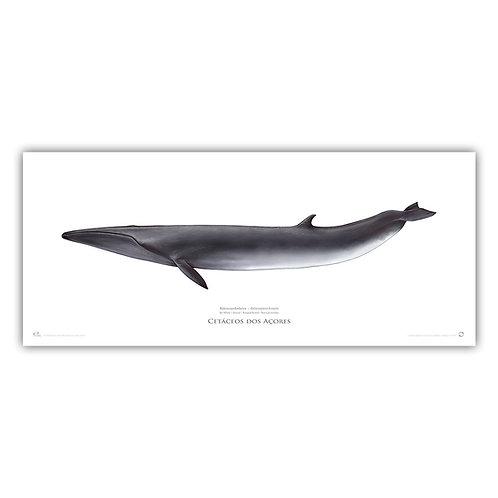 Limited Edition Print - Sei Whale 2018 70x30cm