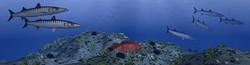 AZORES_FISHPICS_SLIDE_67w
