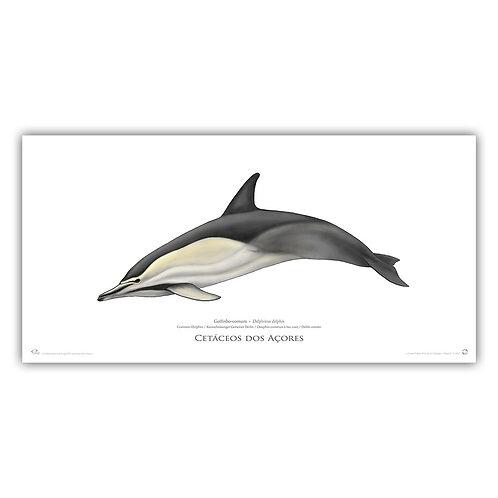 Limited Edition Print - Delphinus (55 cm)
