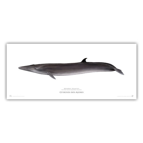 Limited Edition Print - Bryde's Whale 2018
