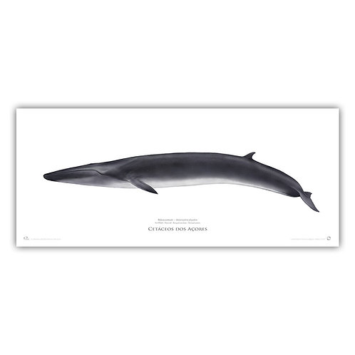 Limited Edition Print - Fin Whale 2018 100x50cm
