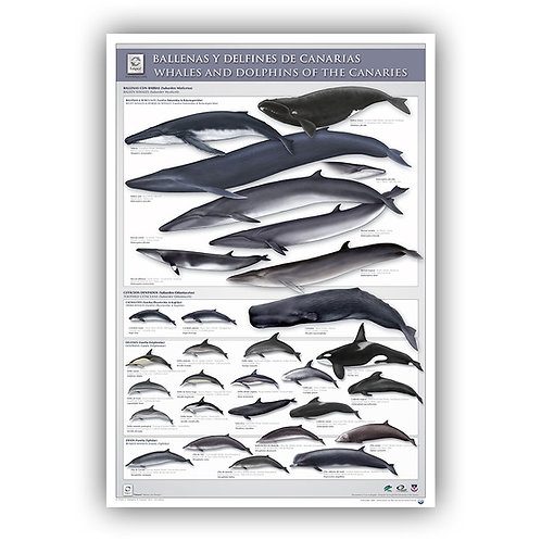 Cetaceans of the Canaries Poster
