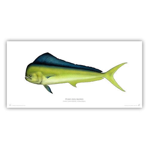 Limited Edition Print - Amberjack  55x30cm